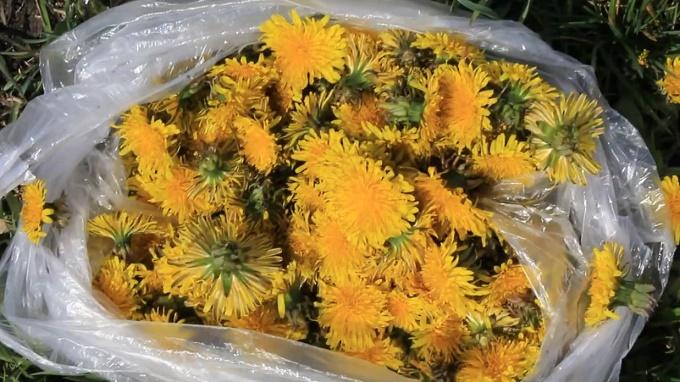 200 цветков одуванчика